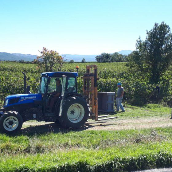 Chianti grape harvest Tuscany