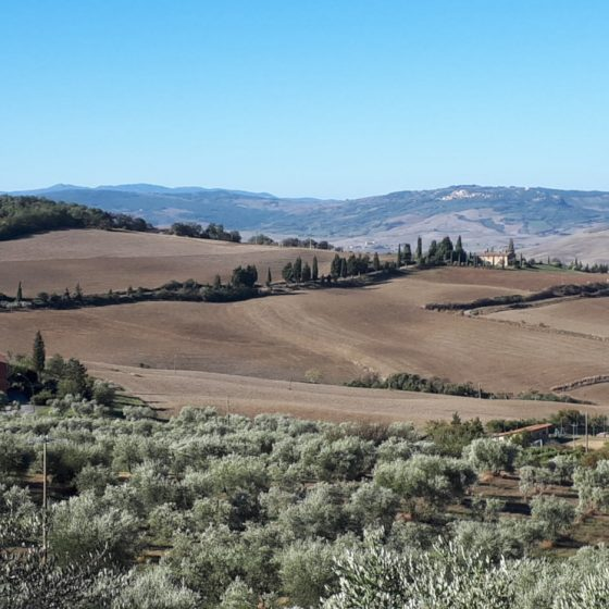 Olive groves in Tuscany