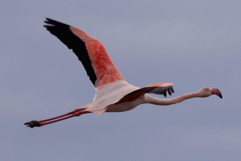 Camargue - Flamingo in flight