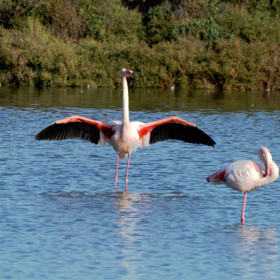 Camargue - Flamingo stretching his wings