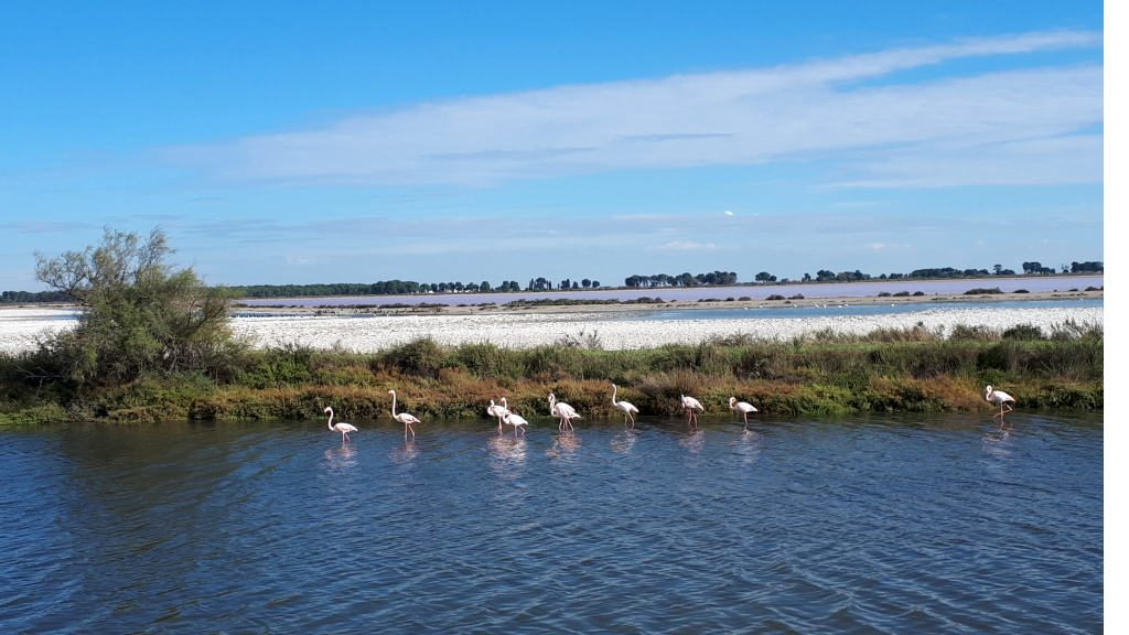 Flamingoes in the wetlands of the Camargue,, France