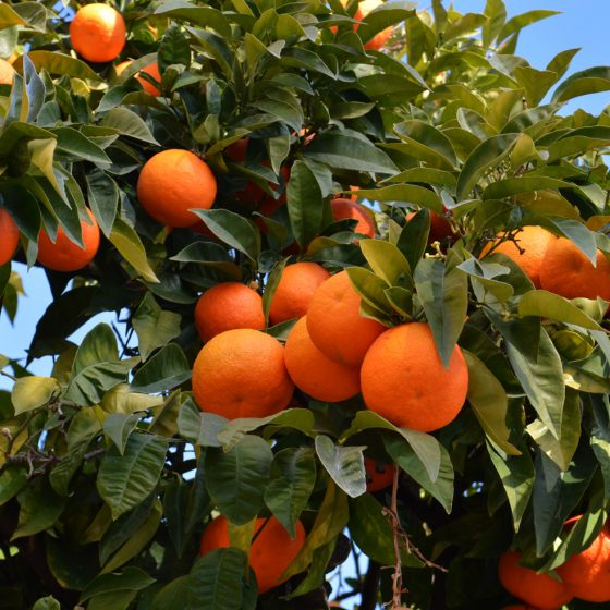 Cordoba Oranges