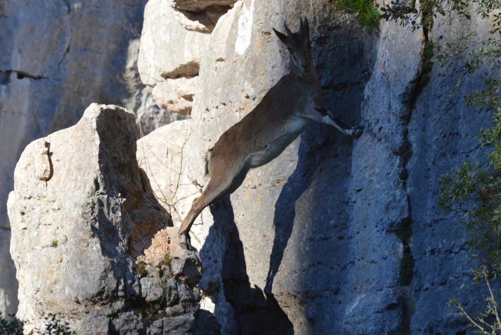 Agile Ibex in El Torcal natural park