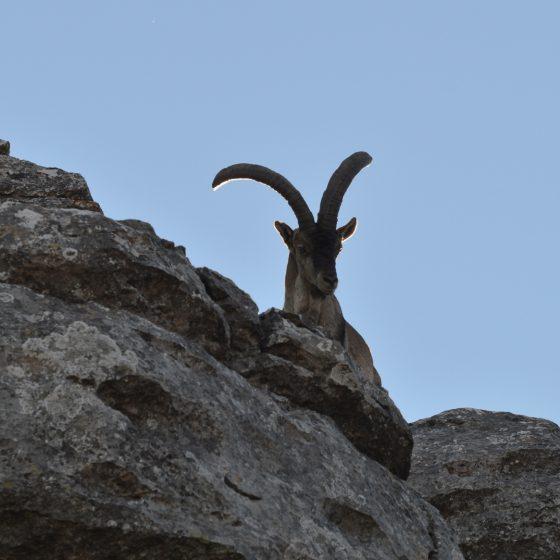 A wild Spanish Ibex surveying his kingdom