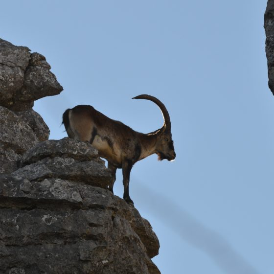El Torcal - An Ibex perches ready to jump