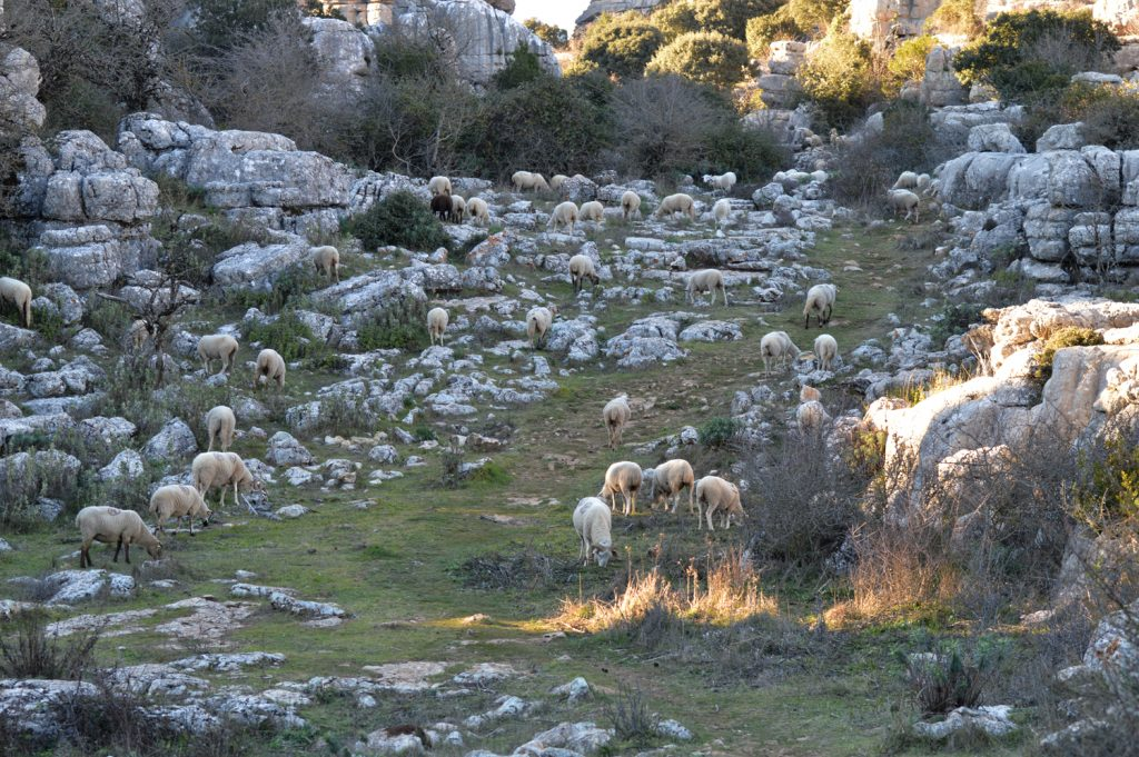 A herd of sheep chiming across the hills of El Torcal