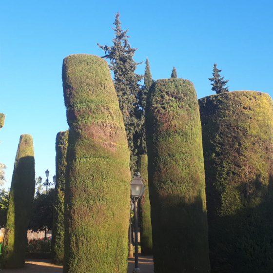 Trimmed cypress trees in the garden of the Alcazar de los Reyes