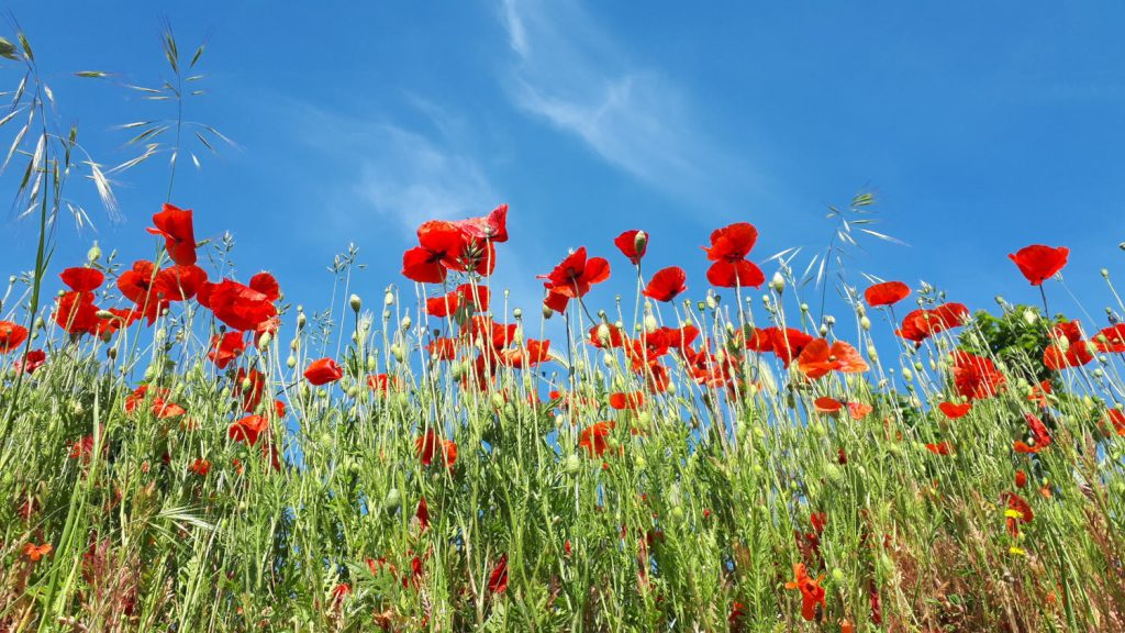Poppies - pretty as a picture!