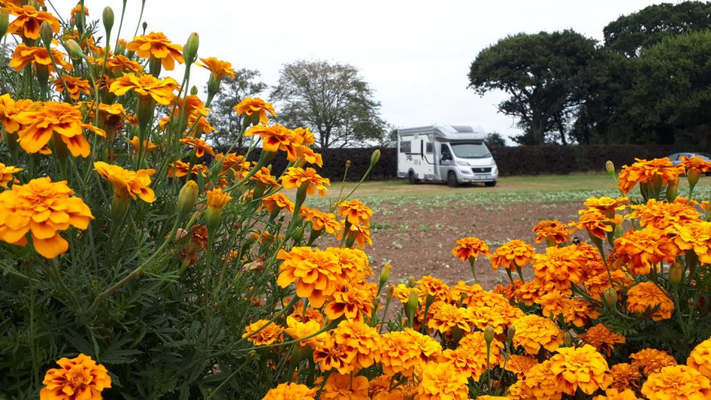 Buzz Laika the motorhome and the dazzling orange marigolds at the Cat & Fiddle PYO Farm