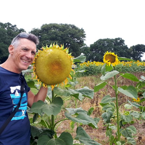 Dinner plate sized sunflowers, bigger than your head!