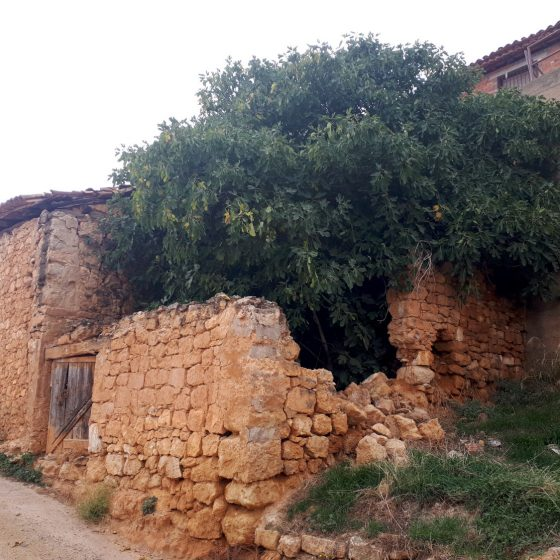 A fig tree bursting out of a house in Ademuz
