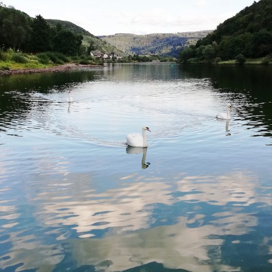 swans gliding across a Lake in Bavaria